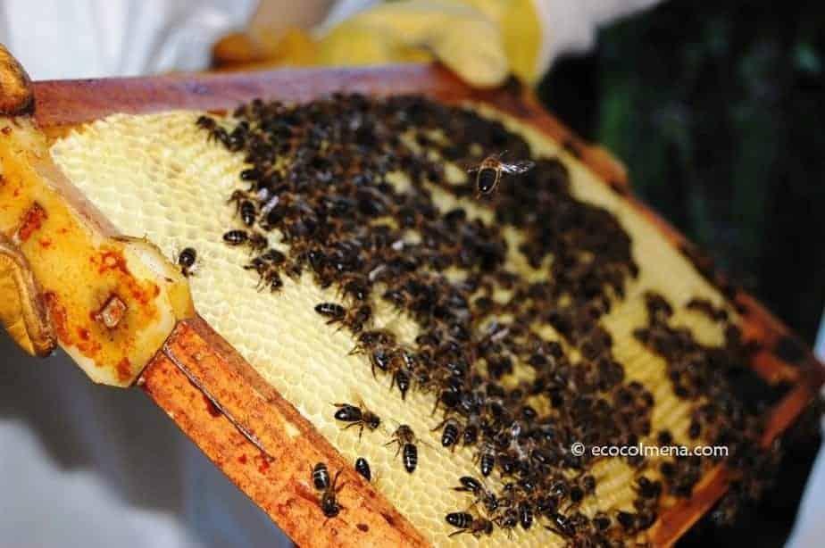 Curso online de apicultura con marco de abejas