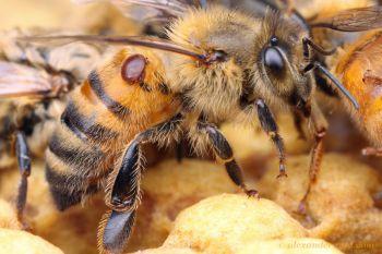 varroa y abejas