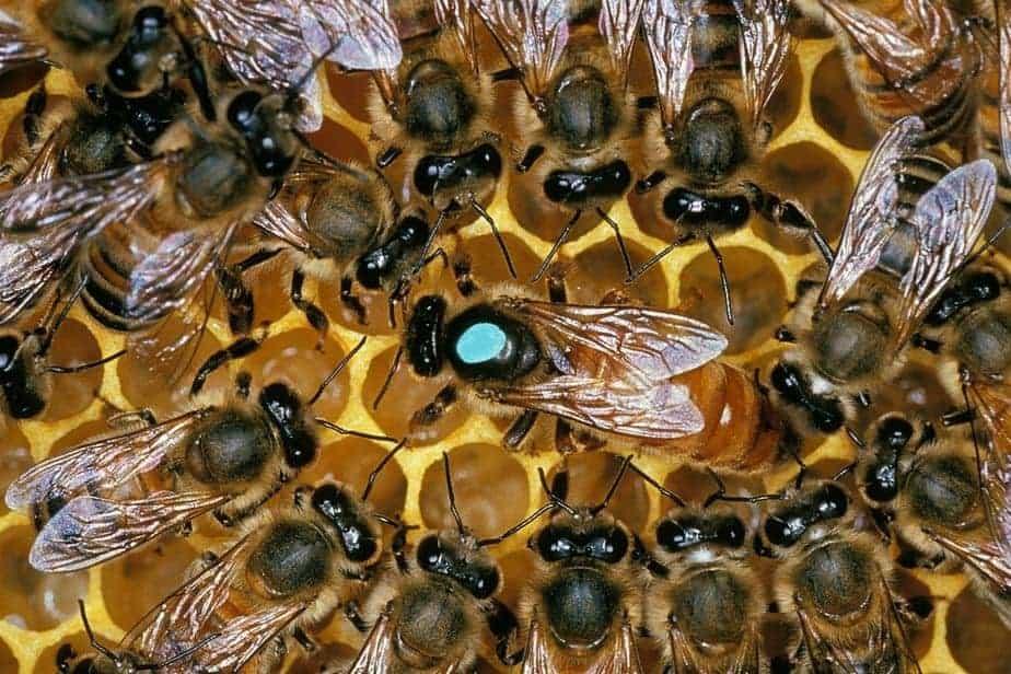 reina abeja con su sequito