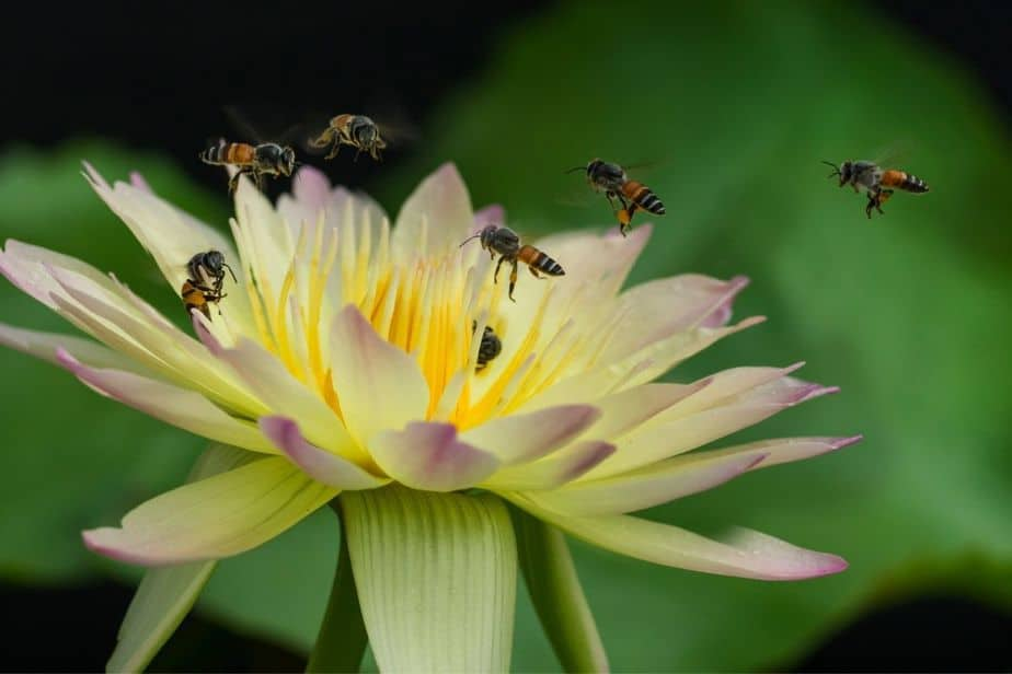 abejas volando sobre flor de loto