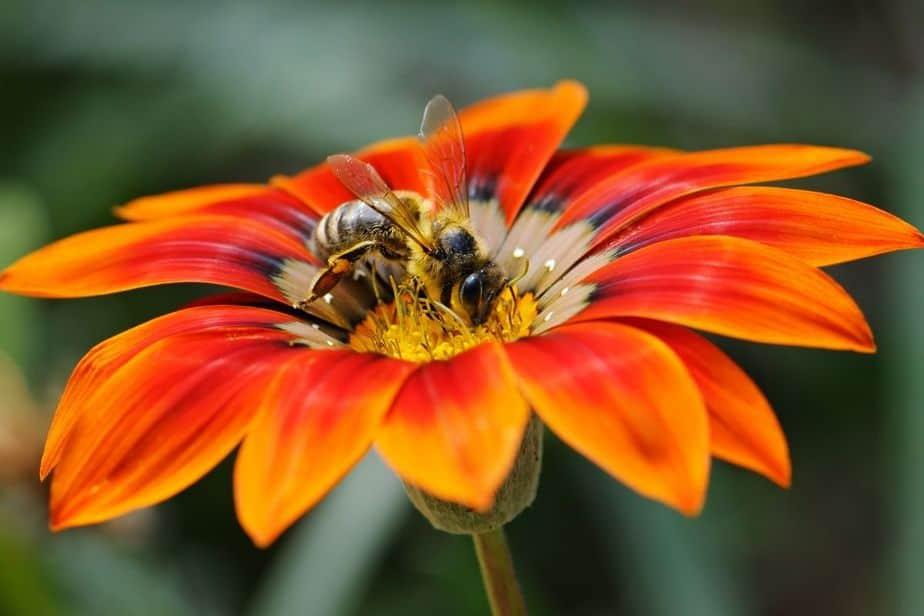 abeja sobre flor naranja