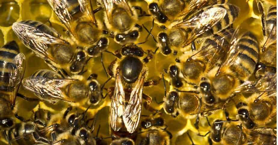 La abeja reina y su sequito