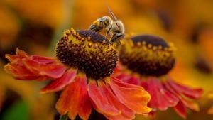 flores de tagetes con abeja