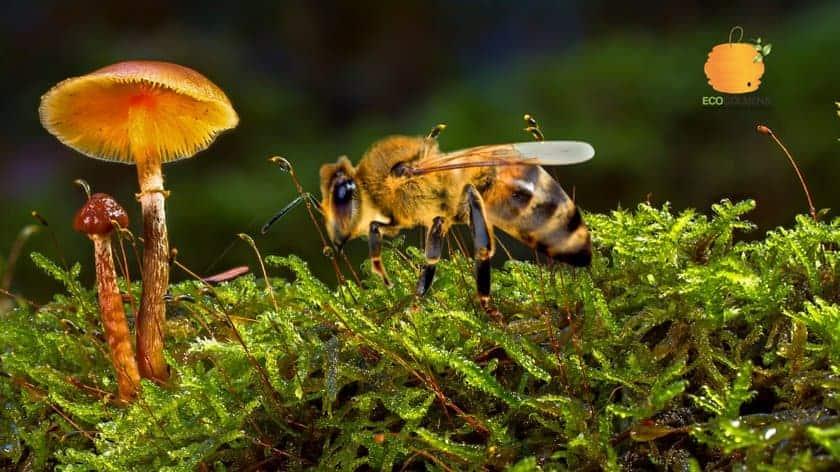 Abejas en hongos