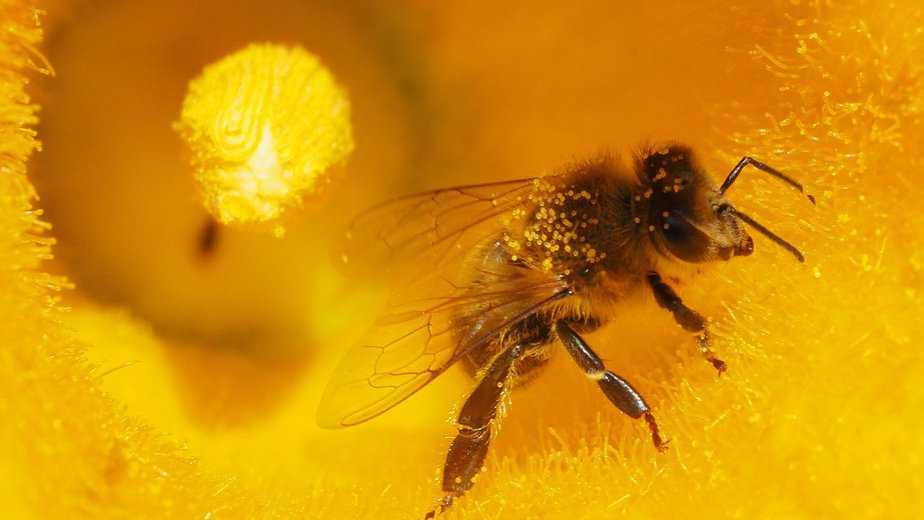 inmunidad de las abejas