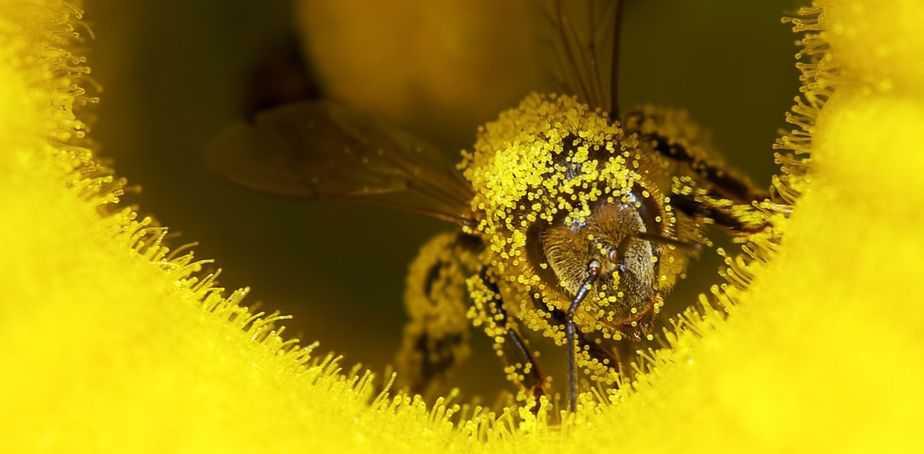 abeja cargada con polen de la isla de polinización