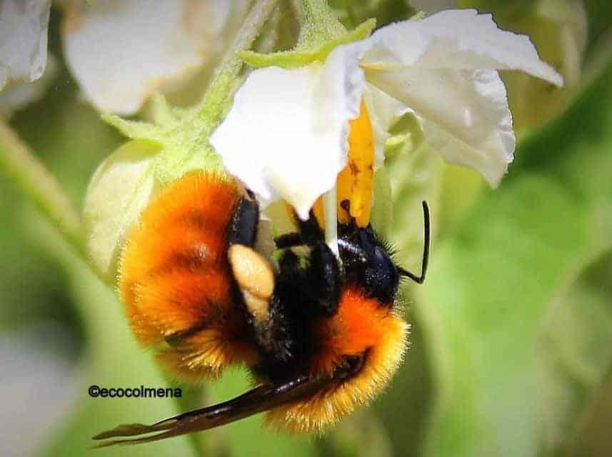 Bombus dahlbomii abejorro gigante austral en peligro de extinción