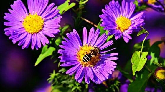 abejas pecoreando flores