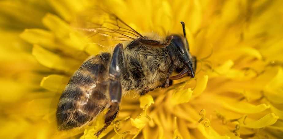 Declive de las abejas meliferas y polinizadores