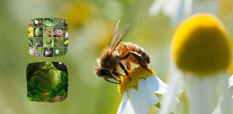 abejas meliferas y polinizadores silvestres