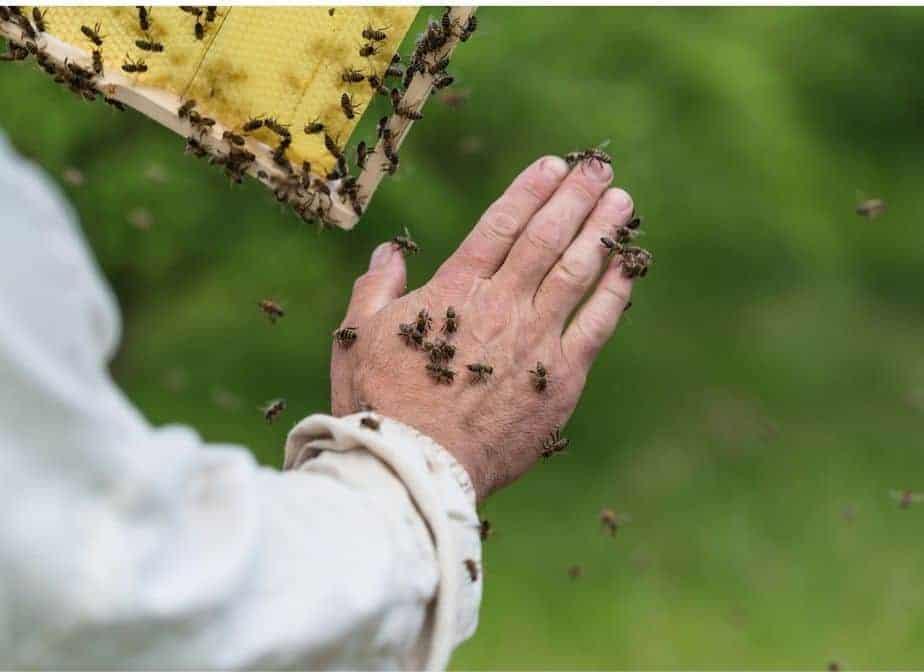 abejas en la mano de un apicultor