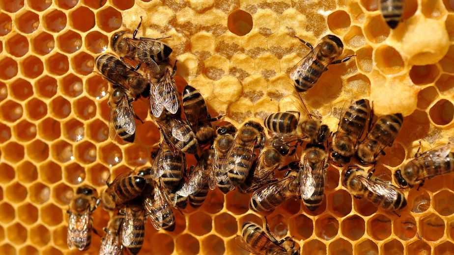 abejas comiendo néctar en un marco