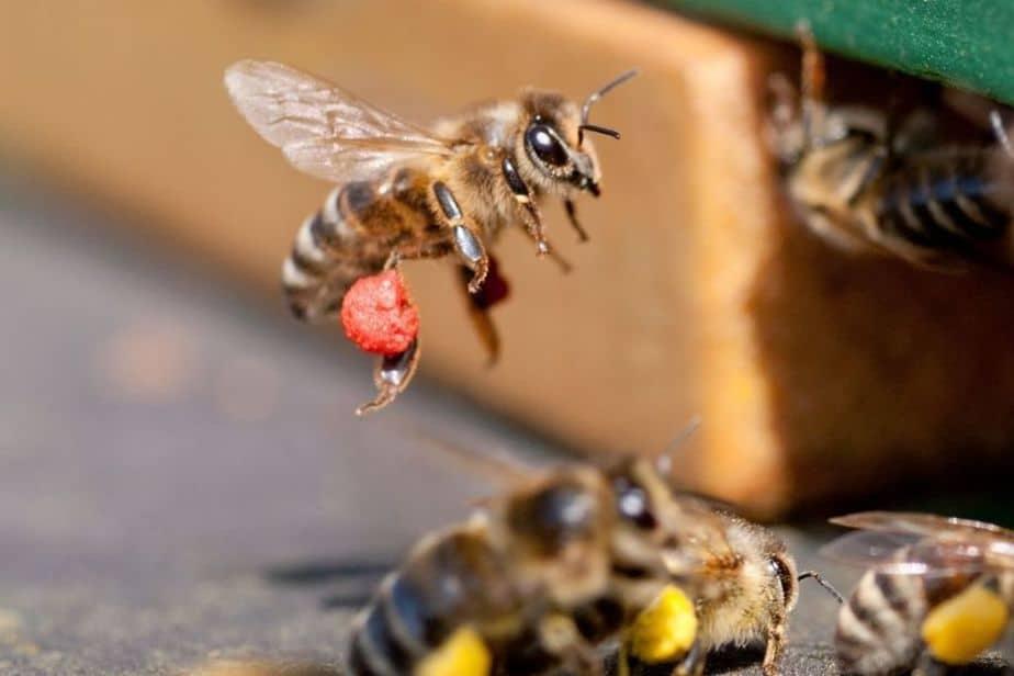 abeja con polen rojo en sus patas