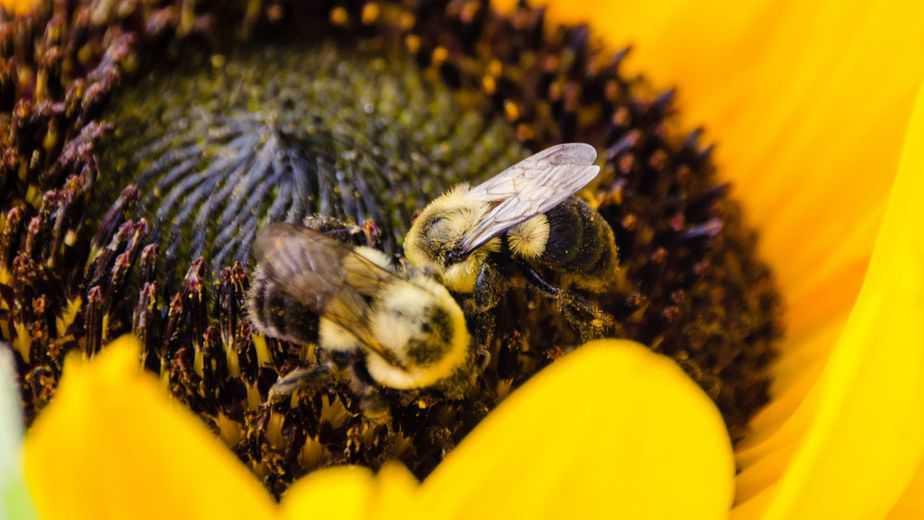 abejorros recolectando polen en girasol
