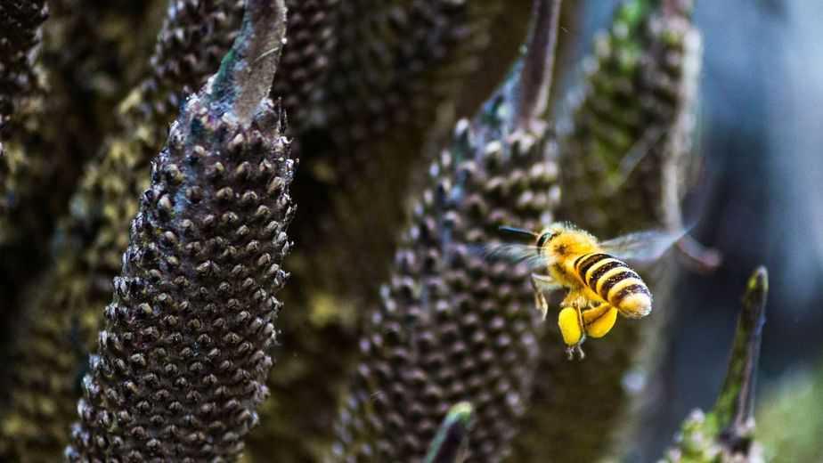 abeja en vuelo transportando grano de polen apícola