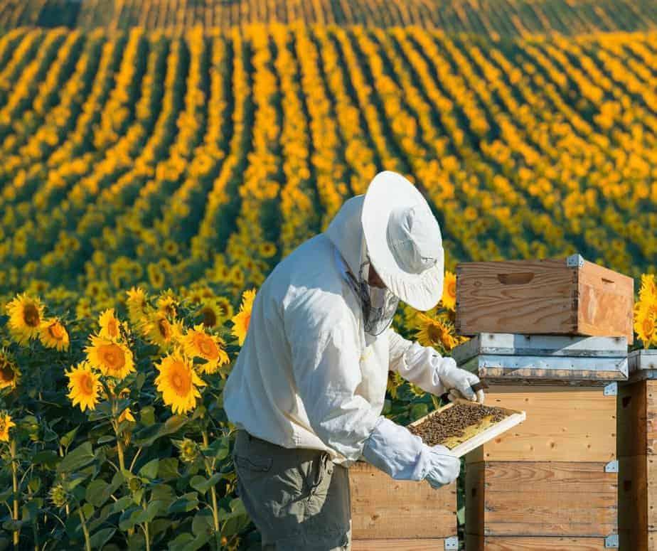 apicultor revisando un marco en una plantación de girasoles